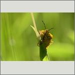 Bild 63 zum Bildarchiv Sonstige Insekten