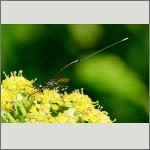 Bild 57 zum Bildarchiv Sonstige Insekten