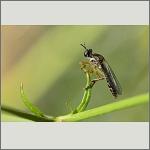 Bild 58 zum Bildarchiv Sonstige Insekten