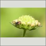 Bild 67 zum Bildarchiv Sonstige Insekten