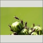 Bild 68 zum Bildarchiv Sonstige Insekten