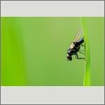 Bild 69 zum Bildarchiv Sonstige Insekten