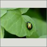 Bild 12 zum Bildarchiv Käfer