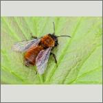Bild 70 zum Bildarchiv Sonstige Insekten