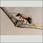 Bild 71 zum Bildarchiv Sonstige Insekten