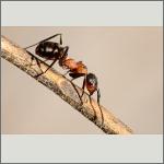 Bild 72 zum Bildarchiv Sonstige Insekten