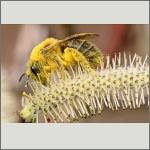 Bild 73 zum Bildarchiv Sonstige Insekten