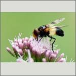 Bild 74 zum Bildarchiv Sonstige Insekten