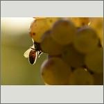 Bild 64 zum Bildarchiv Sonstige Insekten
