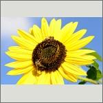 Bild 65 zum Bildarchiv Sonstige Insekten