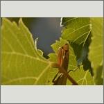 Bild 55 zum Bildarchiv Sonstige Insekten