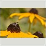 Bild 56 zum Bildarchiv Sonstige Insekten