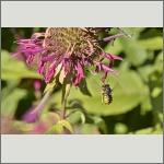 Bild 54 zum Bildarchiv Sonstige Insekten