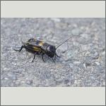 Bild 53 zum Bildarchiv Sonstige Insekten