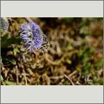 Bild 51 zum Bildarchiv Sonstige Insekten