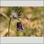 Bild 50 zum Bildarchiv Sonstige Insekten