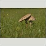 Bild 6 zum Bildarchiv Pilze