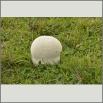 Bild 5 zum Bildarchiv Pilze