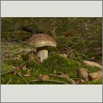 Bild 2 zum Bildarchiv Pilze