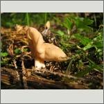 Bild 38 zum Bildarchiv Pilze