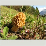 Bild 39 zum Bildarchiv Pilze