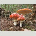 Bild 43 zum Bildarchiv Pilze