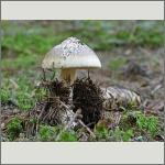 Bild 44 zum Bildarchiv Pilze