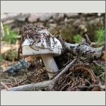 Bild 46 zum Bildarchiv Pilze
