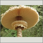 Bild 50 zum Bildarchiv Pilze