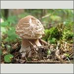 Bild 49 zum Bildarchiv Pilze
