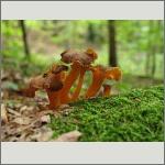 Bild 52 zum Bildarchiv Pilze