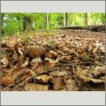Bild 35 zum Bildarchiv Pilze