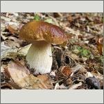 Bild 29 zum Bildarchiv Pilze