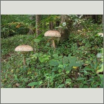 Bild 26 zum Bildarchiv Pilze