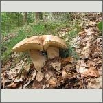 Bild 32 zum Bildarchiv Pilze