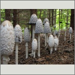 Bild 30 zum Bildarchiv Pilze