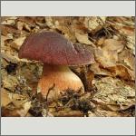 Bild 23 zum Bildarchiv Pilze