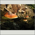 Bild 21 zum Bildarchiv Pilze