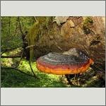 Bild 25 zum Bildarchiv Pilze