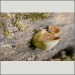 Bild 18 zum Bildarchiv Pilze