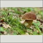 Bild 19 zum Bildarchiv Pilze