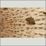 Bild 16 zum Bildarchiv Pilze