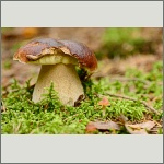 Bild 14 zum Bildarchiv Pilze