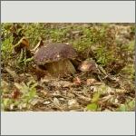 Bild 8 zum Bildarchiv Pilze