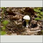 Bild 10 zum Bildarchiv Pilze