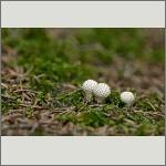 Bild 12 zum Bildarchiv Pilze
