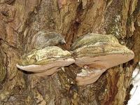 Bild Baumschwämme an einer Kopfweide