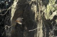Bild Eisvogel im Anflug zur Bruthöhle.