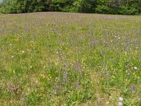 Bild Artenreiche Glatthaferwiese