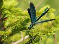 Bild Blauflügel-Prachtlibelle